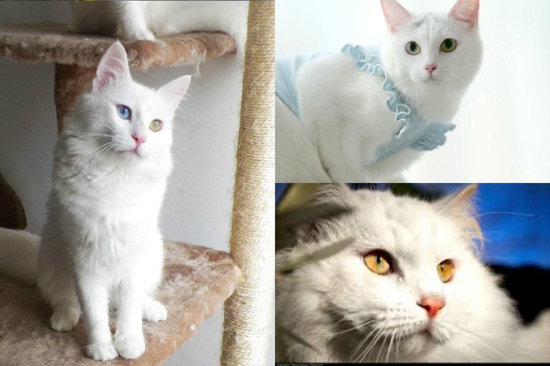 Fotos de gatos de angora 44