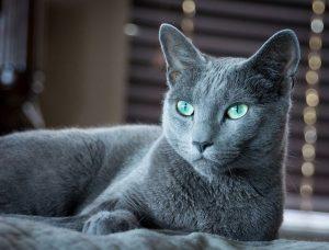 características gato azul ruso