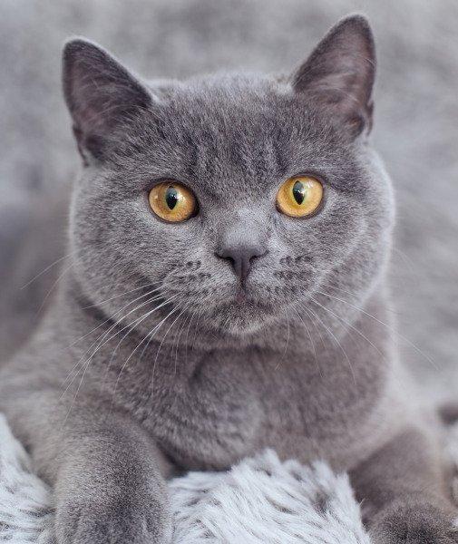 características gato british