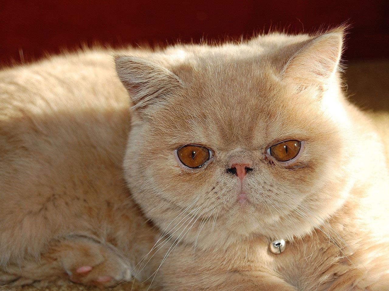 Gato Persa Personalidad Características Y Precio De Este Precioso Felino