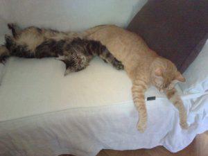 gato maine coon y gato común atigrado