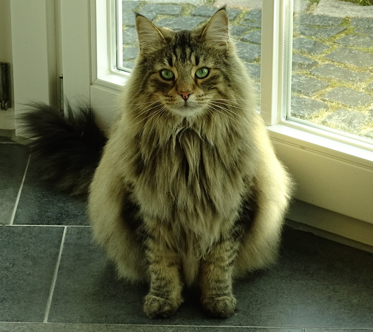 El Impresionante Gato De Los Bosques De Noruega Y Su Enorme Parecido Al Gigante