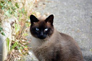 Características del gato siames