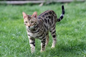 características gato bengali