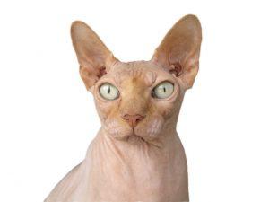 características del gato sphynx