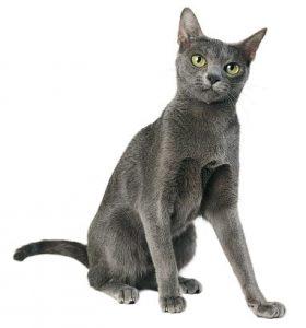 Qué debes saber antes de comprar un gato de raza Korat