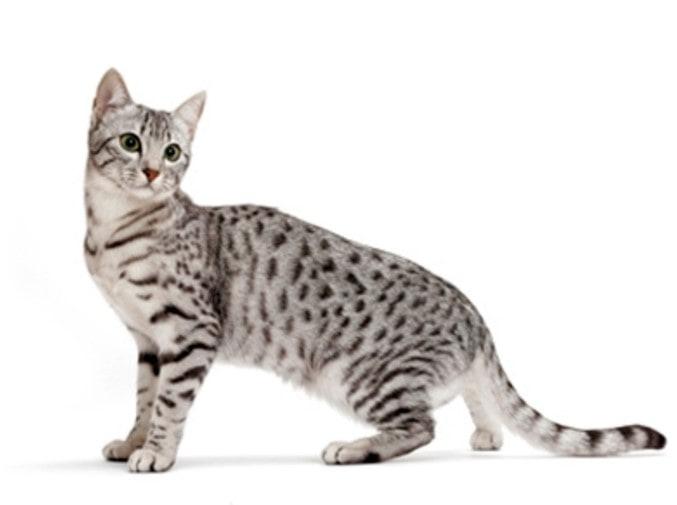 Comportamiento y características del gato Mau Egipcio