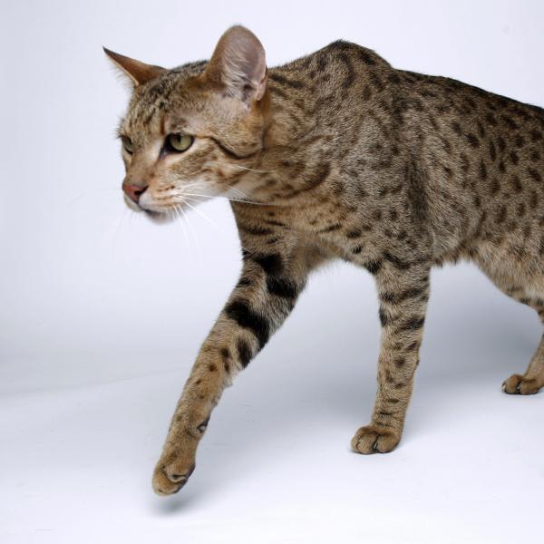 Ashera: El gato Gigante más Caro del Mundo