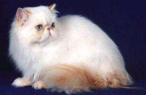 gato persa-himalayo