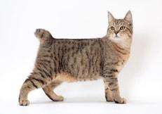 gatito pixie bob
