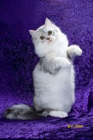 gatito ragamuffin bebe