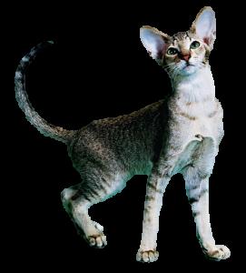 ficha del gato oriental