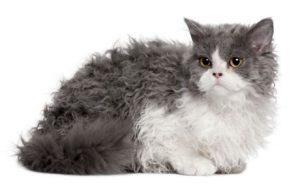 gato selkirk rex azul y gris