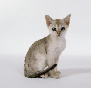 gato singapur pequeño