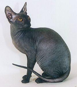 gato donskoy