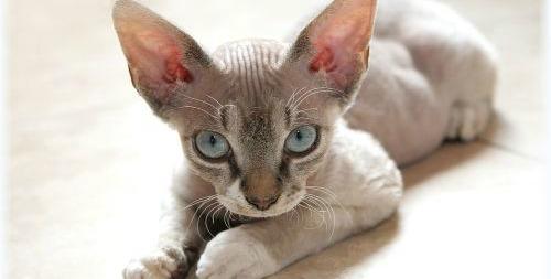 Devon Rex: gatos enanitos y melosos