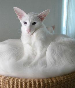 La agilidad y lealtad del gato Balinés