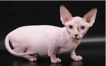 Gato Bambino: el bebé que te enamora con su personalidad