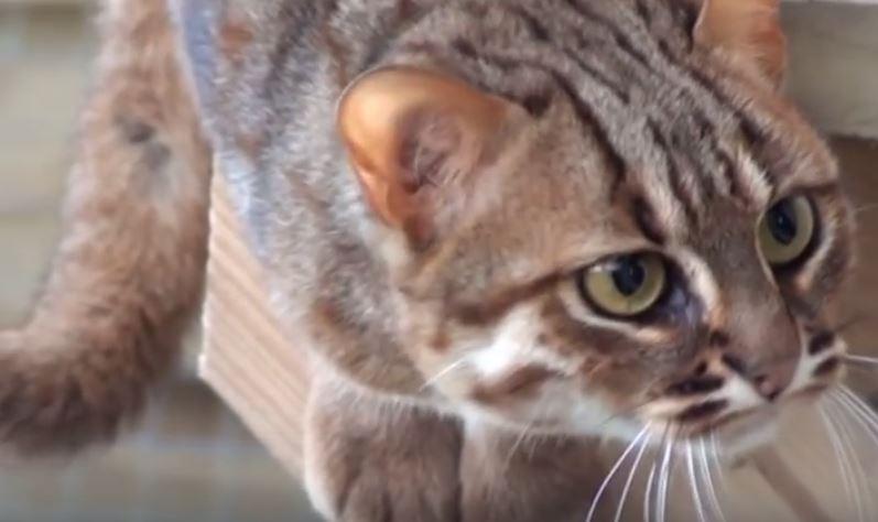 Rusty o gato manchado: el más pequeño de los salvajes