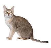 El gato singapur: un felino pequeño