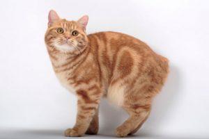 características gatitos manx